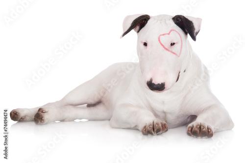 Billede på lærred english bull terrier puppy with a drawn heart