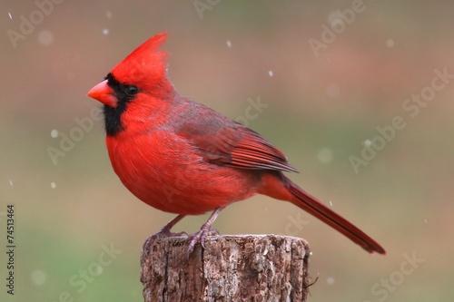 Cardinal In Snow Tapéta, Fotótapéta