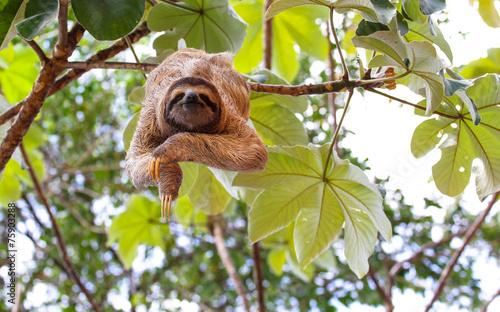 Canvas Print Sloth