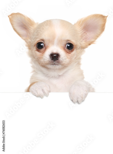 Foto Chihuahua puppy above white banner