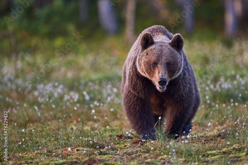 Canvas Print Brown bear frontally