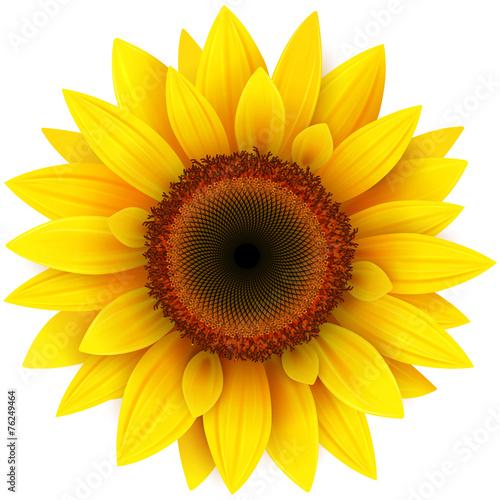 Obraz na płótnie Sunflower, realistic vector illustration.