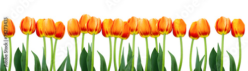 Group of flowers pink tulips on white background. #76273435