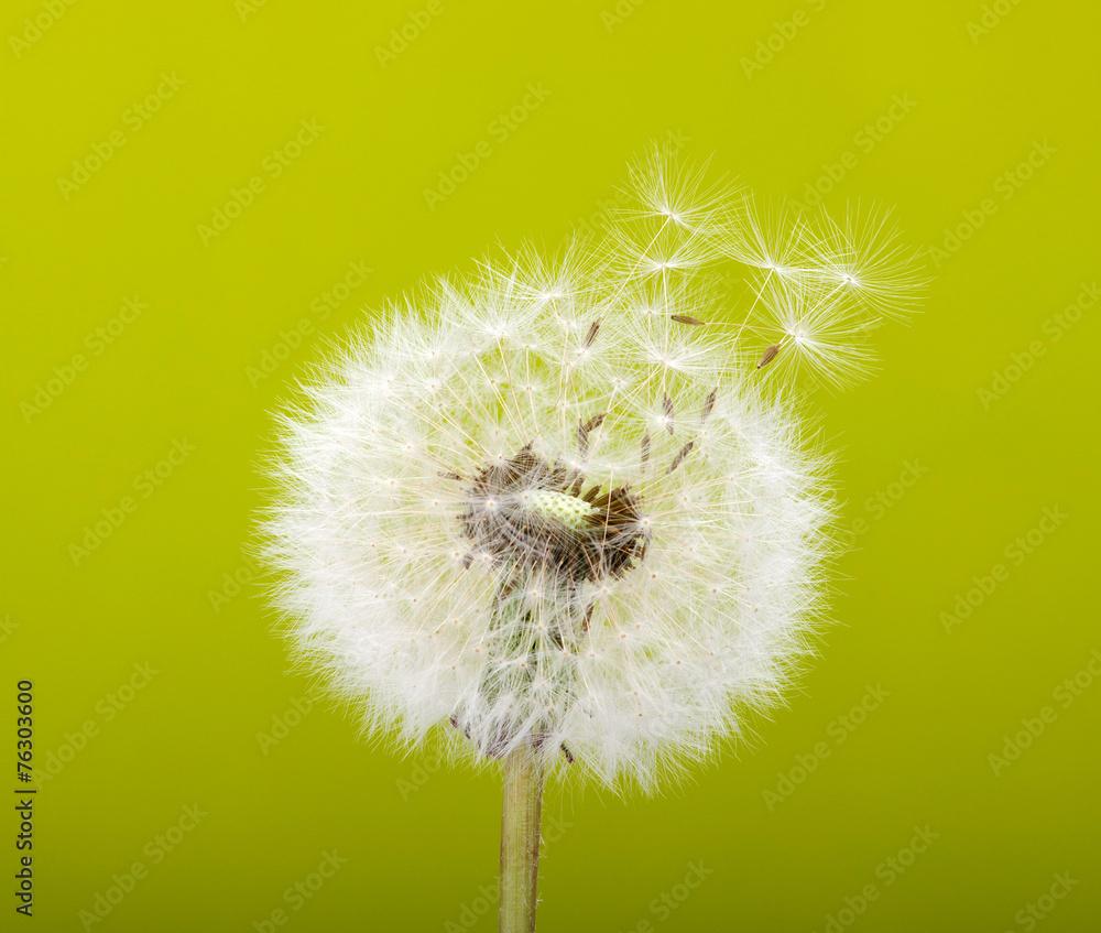 Dandelion wiosny <span>plik: #76303600   autor: Alekss</span>
