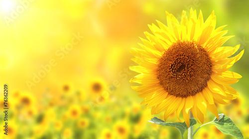 Obraz na płótnie Sunflowers