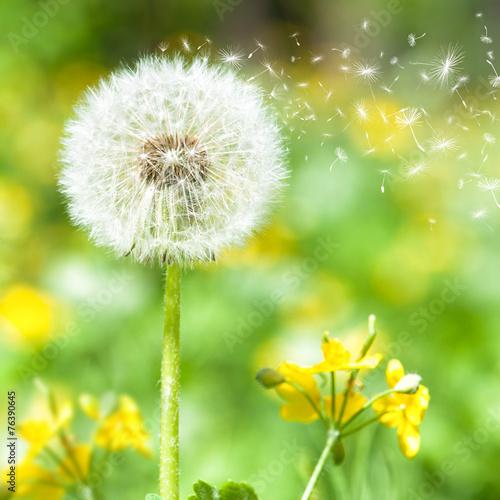 Fototapeta Mniszek lekarski z latającymi nasionami na naturalnym tle na zamówienie