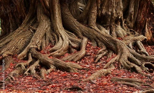 Photo roots and red foliage