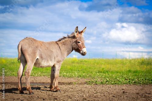 Slika na platnu Grey donkey