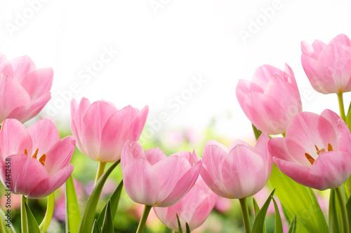 Canvas Print Fresh tulip flowers