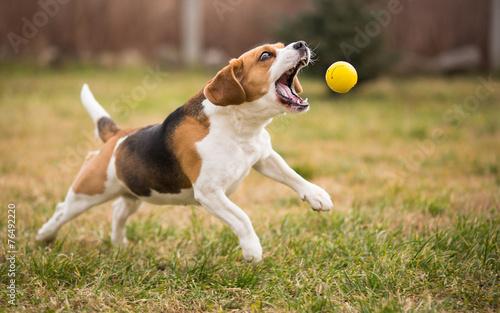 Fototapeta Playing fetch with cute beagle dog