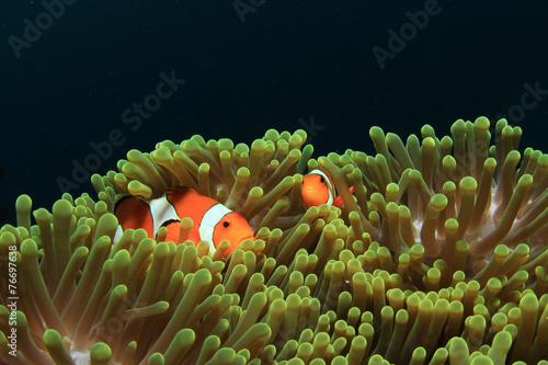 Canvas Print Nemo fish (Clownfish Anemonefish)