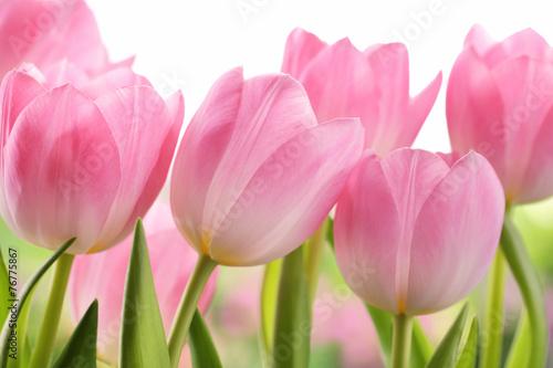 Fototapeta premium Świezi tulipanowi kwiaty