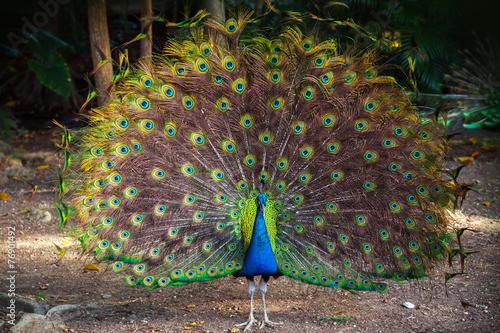 Fototapeta premium Wild Peacock idzie do ciemnego lasu z Feathers Out
