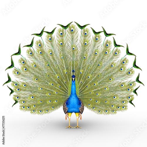 Fototapeta premium Peacock