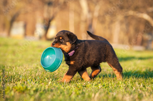 Canvas Print Rottweiler puppy holding a bowl in his mouth