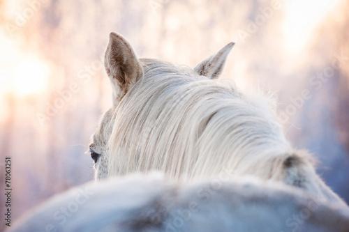 Fototapeta Portrait of white horse in winter