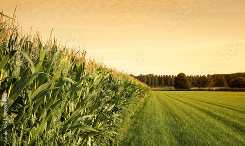 Canvas-taulu cornfield at sunset