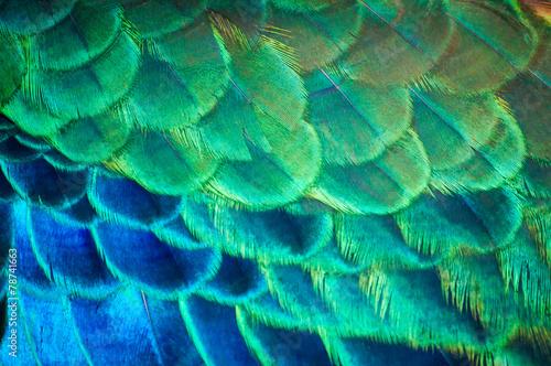 Zbliżenie pawie pióra