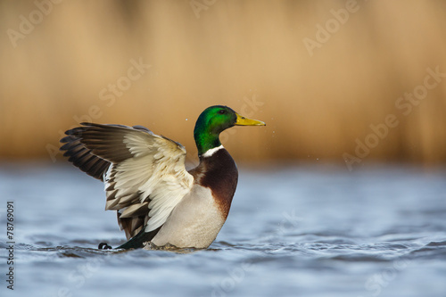 Fotografija a wild duck
