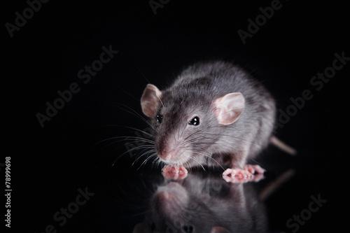 brown  domestic rat on a black background Fototapeta