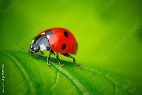 Ladybug and Leaf Fototapeta