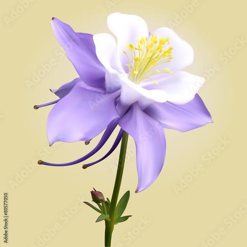 Canvas Aquilegia purple-white