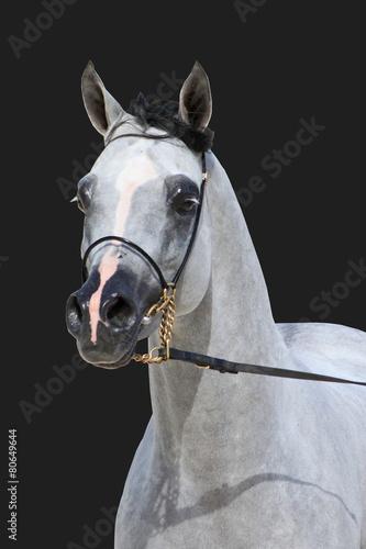 Purebred arabian stallion #80649644