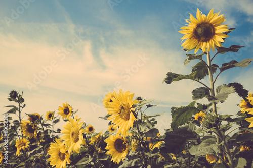sunflower flower field blue sky vintage retro