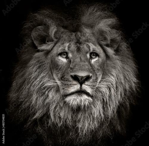 Canvas Print arrogant lion