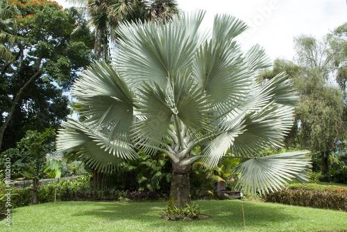 Tableau sur Toile Exotic Palm Trees - The Bismarck Palm Tree