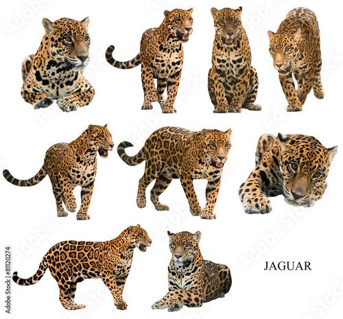 Fotografia, Obraz jaguar ( panthera onca ) isolated on white backgrond