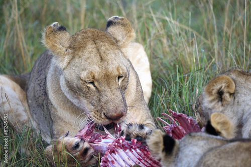 Canvas Print Lioness eating a wildebeest in the Masai Mara