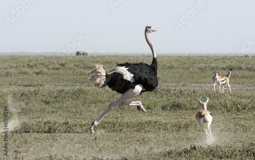 Africa, Tanzania Serengeti National Park, ostrich