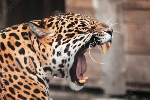 Fototapeta Roaring Jaguar. Portrait  of wild animal
