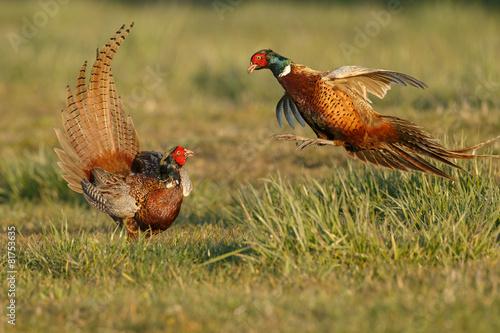 Carta da parati Pheasant males are fighting in during mating season