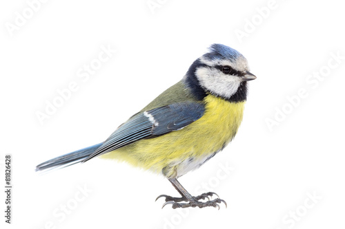 Fotografie, Obraz Blue tit on white background seen from the side