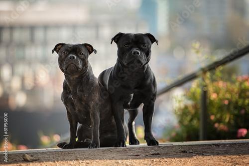 Fototapeta two staffordshire bull terrier dogs