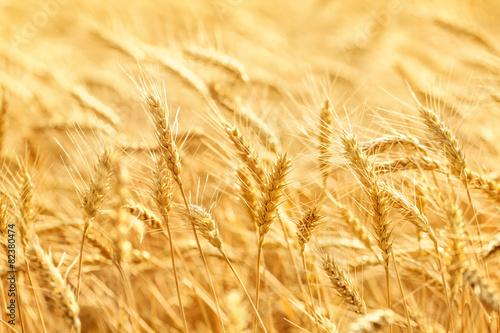 Tableau sur Toile Champ de blé
