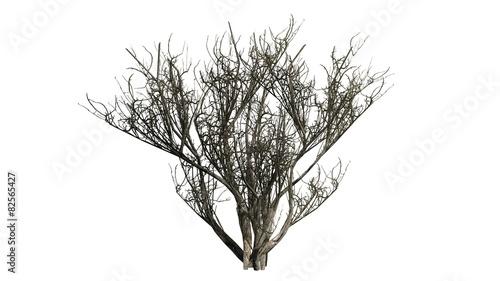 Fotografia african olive shrub winter - isolated on white background