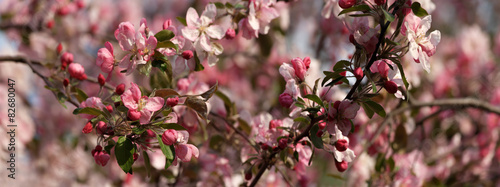 Apple tree in blossom panorama #82680047