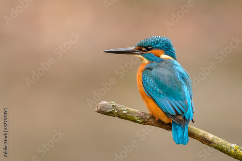 Photo Common Kingfisher (Alcedo atthis) perching on a branch.