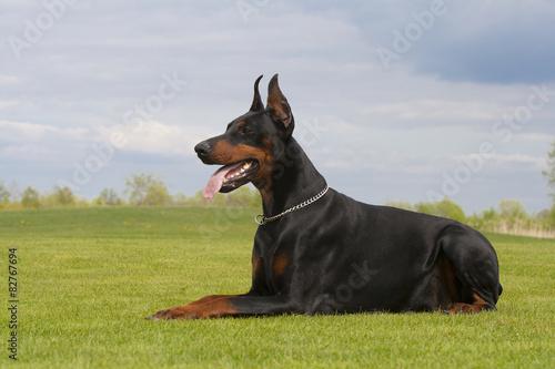 Canvastavla black doberman dog is laying on the grass