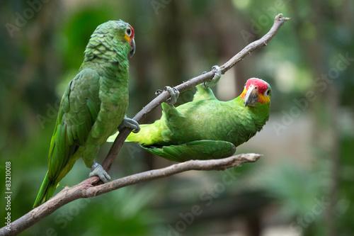 Wallpaper Mural parrot bird