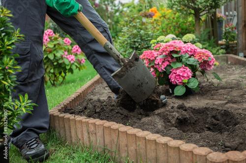 Fototapeta Ein Mann pflanzt Hortensien ein