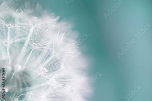 Pusteblume Löwenzahn Makro Hintergrund