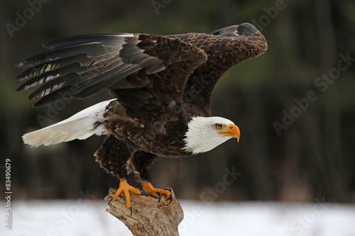 A Bald Eagle (Haliaeetus leucocephalus) taking off..