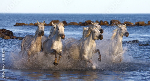 White horses running along the edge of the sea in France.