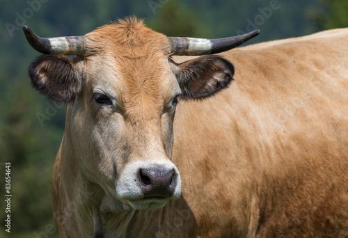 Photo vache de race Aubrac