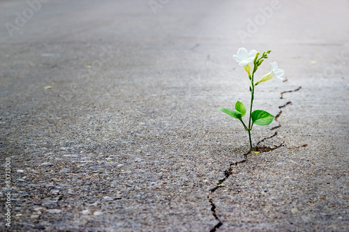 Stampa su Tela white flower growing on crack street, soft focus.