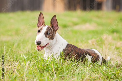 Fotografia Bullterrier dog lying on the lawn in summer